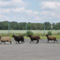 Des moutons s'invitent au collège du Bois d'Aulne © CD78.C.BRINGUIER