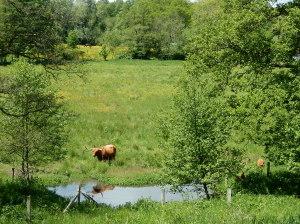 Vaches écossaises