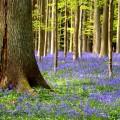 printemps jacinthes forêt
